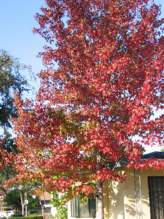Autumn_liquidambar