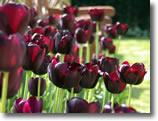 Groombridge_tulips
