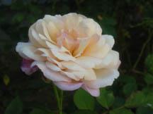 Gruss_an_aachen_from_my_garden